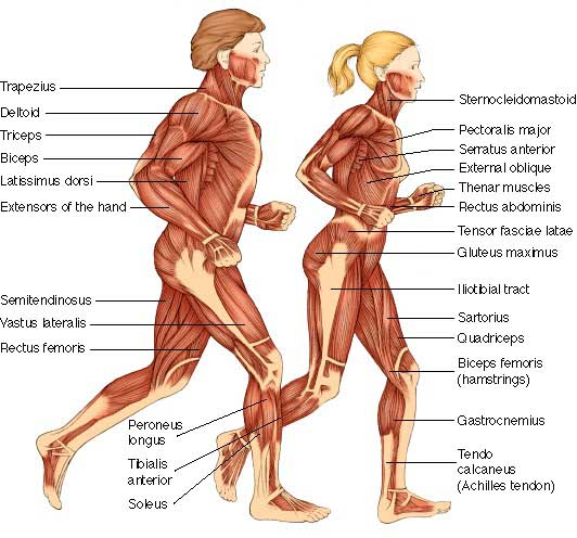 Bme315 Links Anatomy And Biomechanics